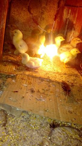 Pintinho indio de galinha japonesa