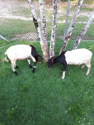 Vendo carneiros reprodutores
