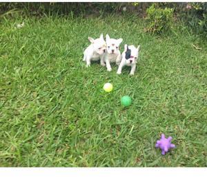 filhote de bulldog francês em Curitiba, com pedigree, em