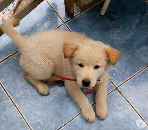 Labrador × labrador macho 3 meses