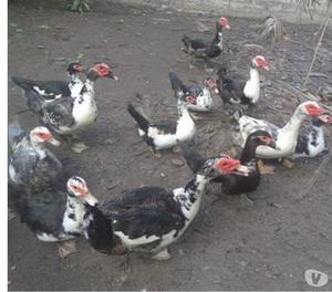 galinhas rodhia e patos para criação