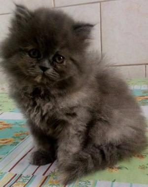 Lindos filhotes de gatos persas cinzas purinhos.Entrego em