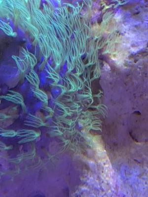 Rocha viva Sanzibar com coral Stick Polyps