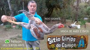 Galo Índio Gigante Galinha Criação Avicultura Sítio