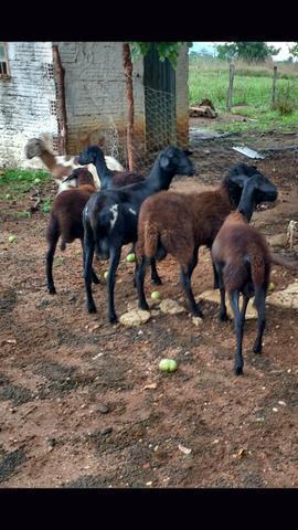 Vendo 6 carneiros