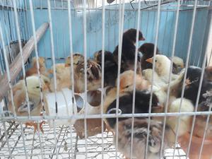 Pintinhos de galinhas poedeiras Embrapa 051 e caipiras