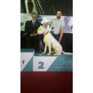 Venda Permanente De Filhotes De Dogo Argentino