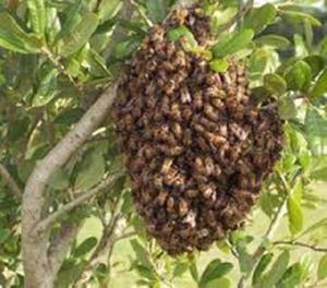 Captura e remoção de abelhas e marimbondos