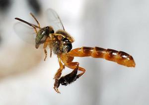 Vendo enxame de abelha jatai