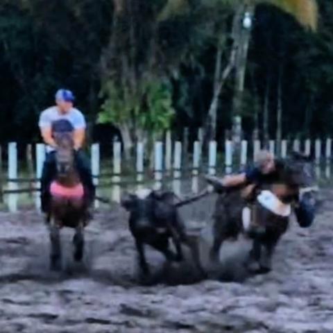 Cavalo para criança, cavalo de vaquejada, cavalo manso