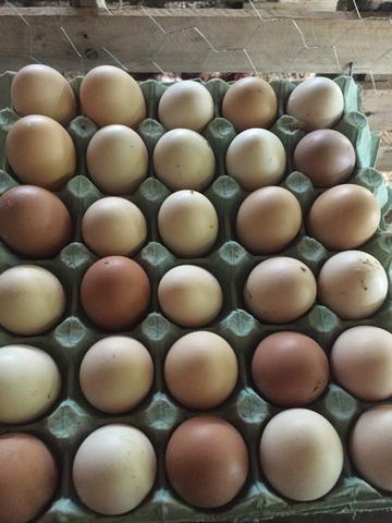Ovos negro gigante de Jersey