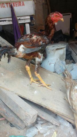 Vendo galo e galinha gigante 150$ o galo e 100$ galinha