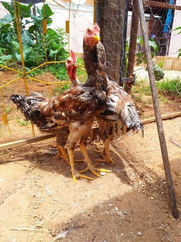 Vendo pintinhos e frangos caipiras para recria