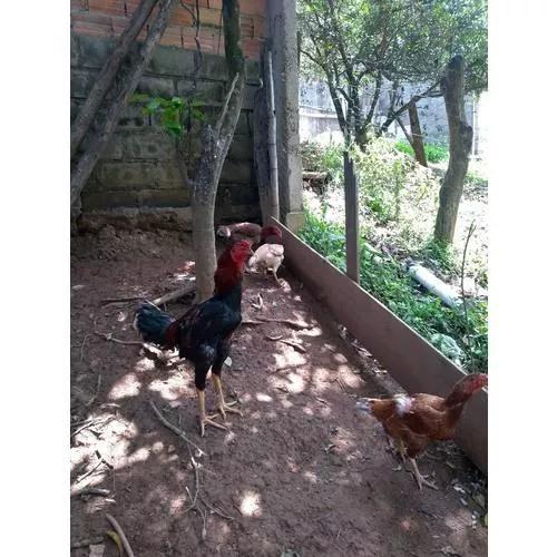Ovos De Galinha Índio Gigante Baia Prata + Curso De Brinde
