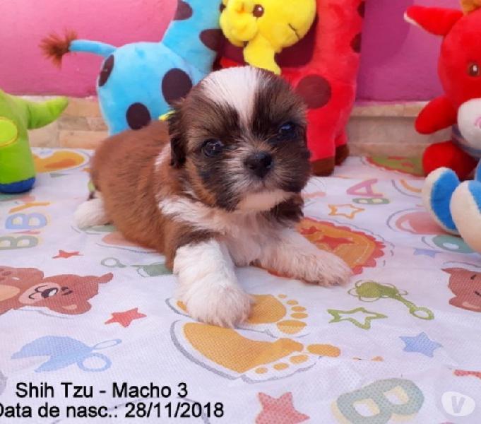 Shih Tzu macho 600,00 whats 51-9.9418.9321