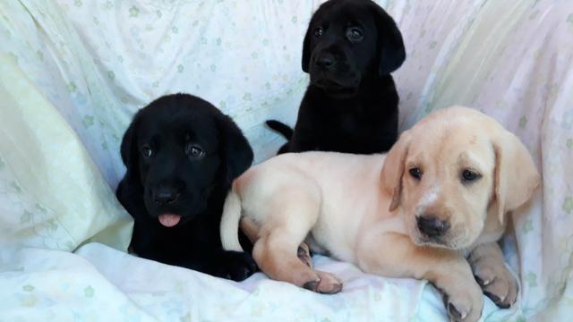 Canil, Criador, Venda Permanente de Filhotes Labrador