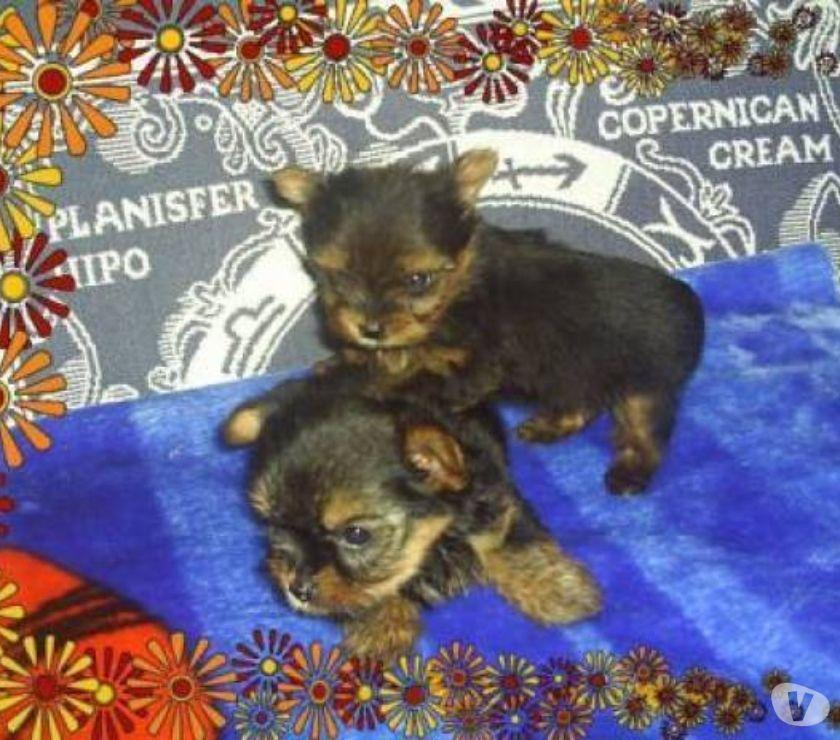 YorkShire Filhotes Machinhos e Fêmea Micro