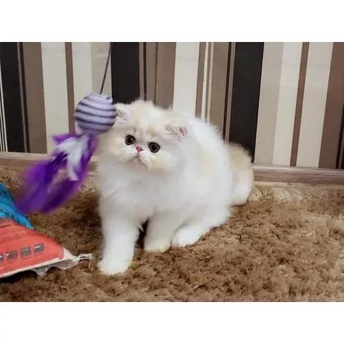 Gatos Persas E Exoticos Com Pedigree