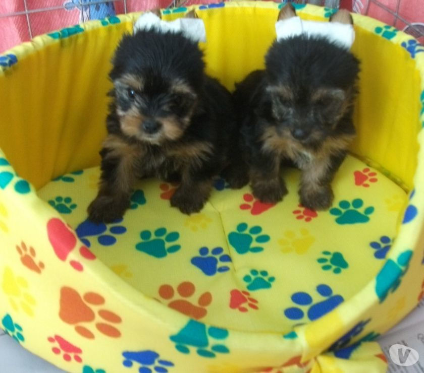 YorkShire Terrier Fêmea Micro e Machinho
