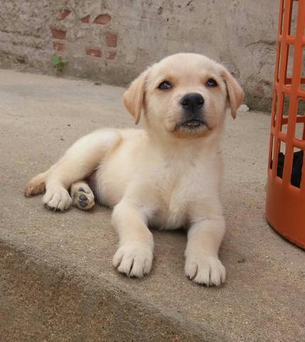 Labrador Fêmea Vacinada e Vermifugada