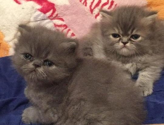 Lindos filhote de gatos persas femea e macho
