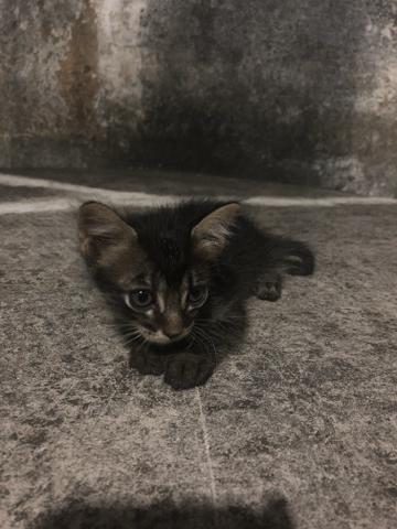 Gatinho filhote preto de olho azul para adoção