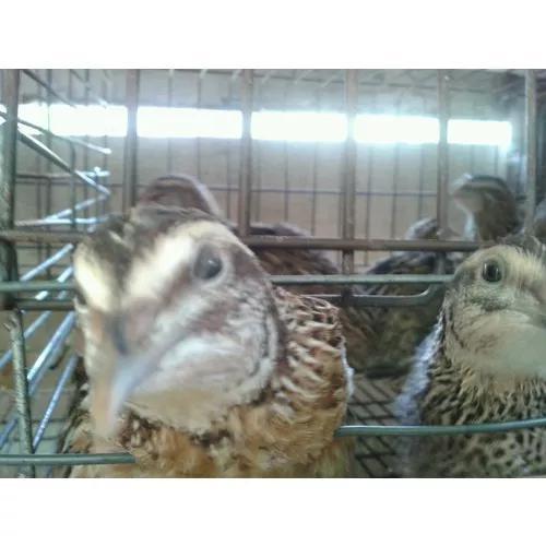 Ovos Férteis: Codornas Gigantes