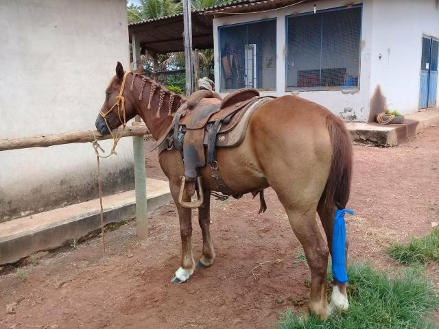 Égua meio sangue qm domada laça pé prenhe do garanhao