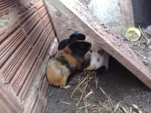 Doação Porquinho da Índia