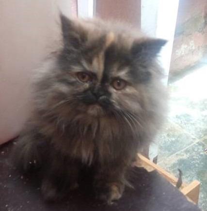 Linda filhote de gato persa femea pura.Parcelo nos