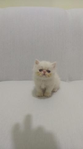 Vende-se lindos filhotes de gatos persas