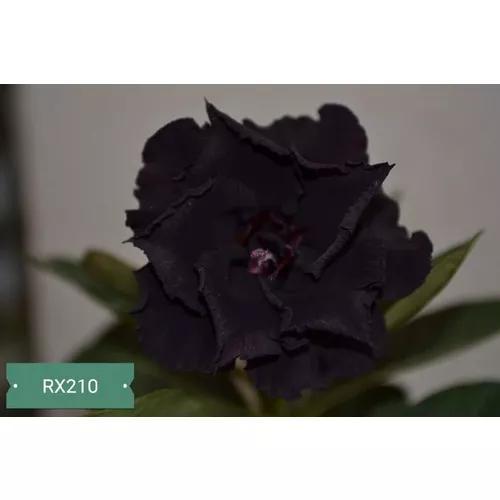 Rosa Do Deserto Negra Rx210