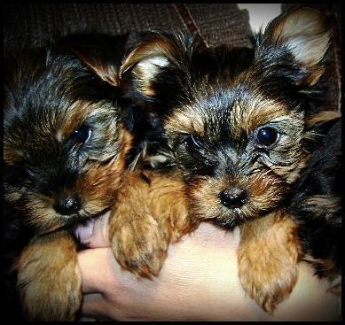 Filhotes De Yorkshire Terrier Disponiveis