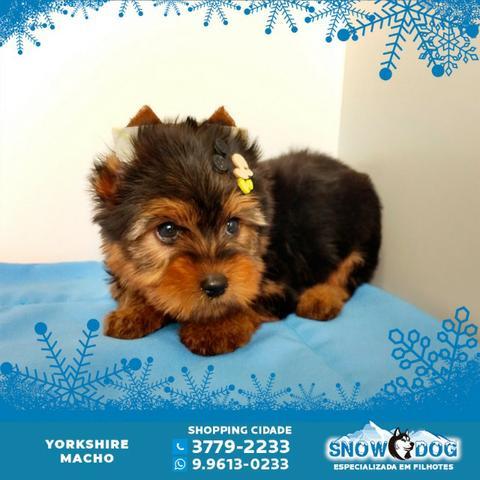 Lindo Yorkshire Macho - Snow Dog Shopping Cidade