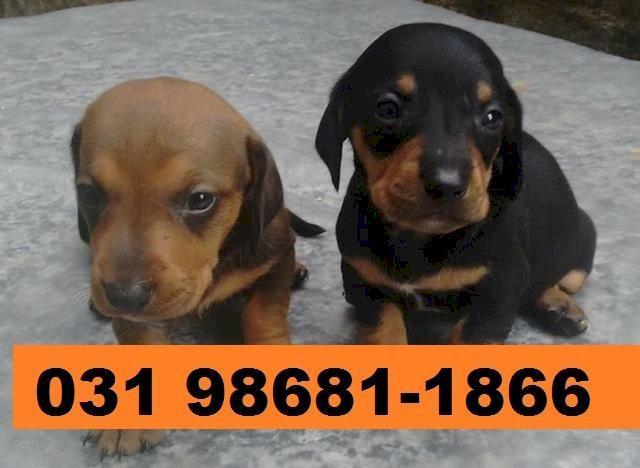 Canil em BH filhotes de cães Basset mini