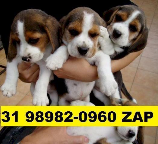 Canil em BH filhotes de cães Beagle mini