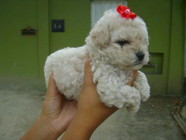 Canil em BH filhotes de cães Poodle mini