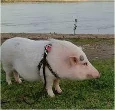 Coleira Peitoral Com Guia Para Pequenos Porcos