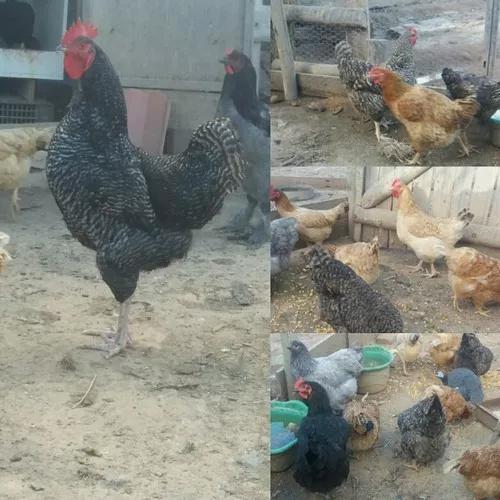 Ovos De Caipiras Melhorado, Valor Referente A12 Ovos, Unidad