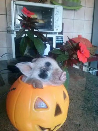 Porquinho Mini (Mini Pig)