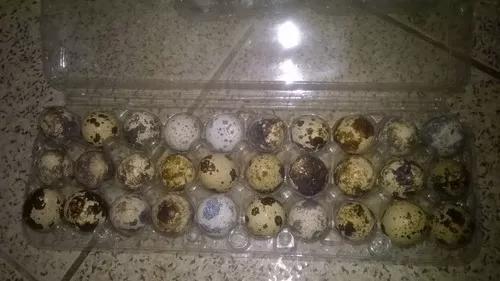 60 Ovos Galados De Codornas Gigantes (golden, Tibetana......
