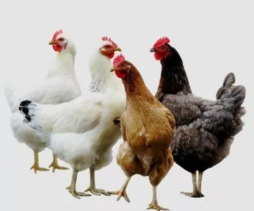 Ovos Galados Galinhas De Raças (super Caipira) 12 Ovos