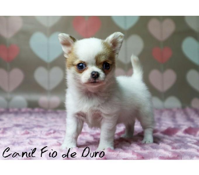 Chihuahua Femea Para Quem Busca Beleza e Padrao da Raça