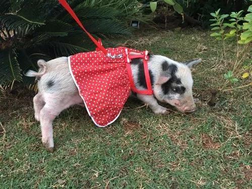 Mini Pig. Micro Pig. Mini Porco. Mini Porquinho.