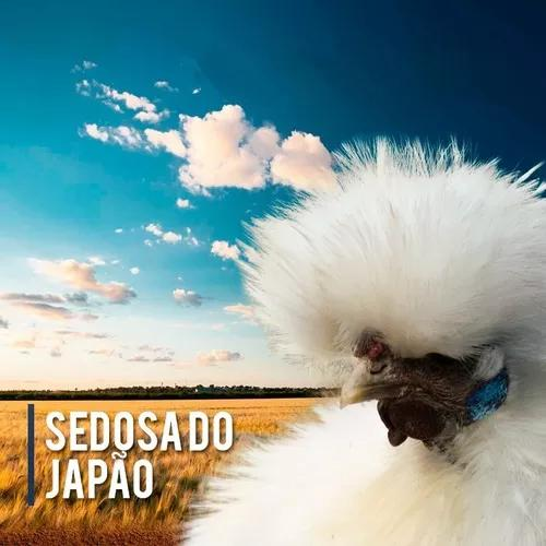 Ovos Férteis De Sedosa Do Japão Branca 1 Duzia