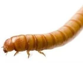 Tenébrio Molitor, Frete Grátis Bh/mg, 100 Larvas Viva