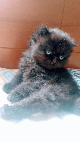 Gato persa show clees