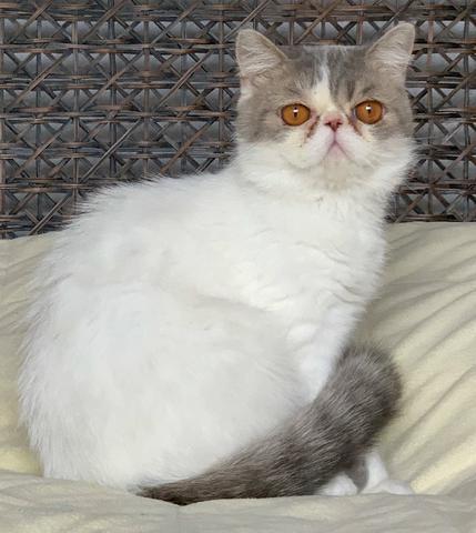 Show de Gato persa Macho Exotic Shorthair extremado bicolor