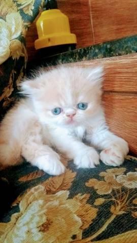 Gato Persa padrão show cless