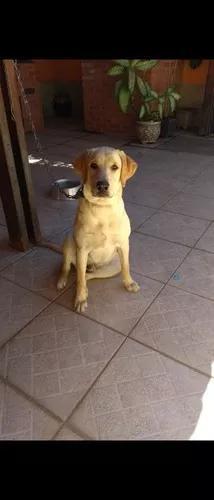 Procuro Labrador Fêmea 100% Ou Golden Retriever